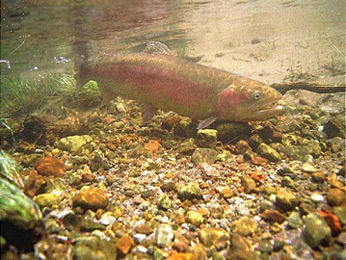 photo of rainbow trout