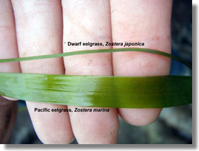 Blades of dwarf eelgrass, Zostera japonica, compared to native eelgrass, Zostera marina. Photo courtesy of Annie Eicher/UC ANR.