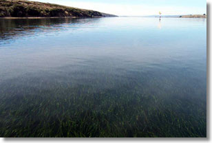 Eelgrass Bed (Zostera marina) Tomales Bay, Photo Credit: Ryan Watanabe