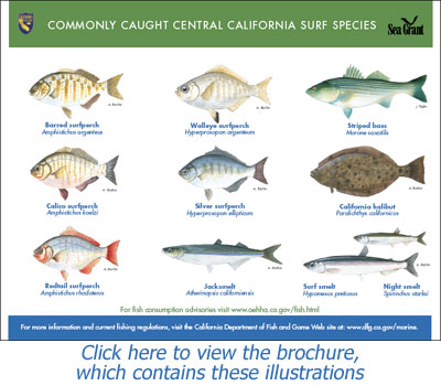 North Carolina Saltwater Fish ID Chart http://www.dfg.ca.gov/marine/beachfishing.asp