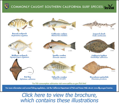Commonly Caught California Surf Species