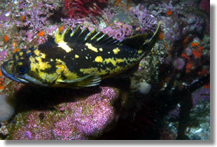 Black and Yellow Rockfish; Photo by Steve Lonhart of Simon/NOAA
