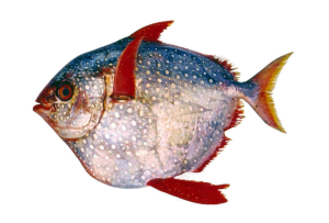 Opah; Photo by Dr. Michael Maia Mincarone