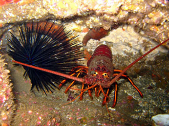 California spiny lobster fishery management plan for Lobster fishing california