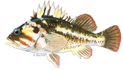 Copper Rockfish, Illustration by A. Bachar