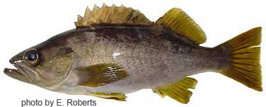 Photo of species for June 2005 Fish Identification Quiz