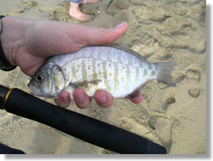 Barred surfperch, CDFW photo by Sabrina Bell