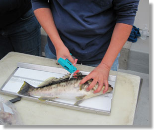 SFMP biologist collecting biological data and tagging a kelp bass during a hooking mortality study, CDFW photo by Dianna Porzio