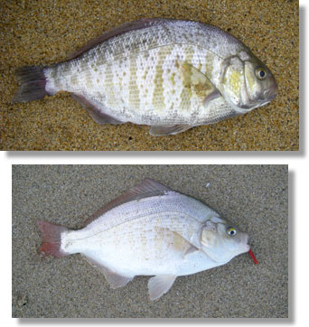 barred surfperch (above) and redtail surfperch (below), CDFW photos by Ken Oda